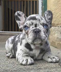 Merle-French-Bulldog.jpg
