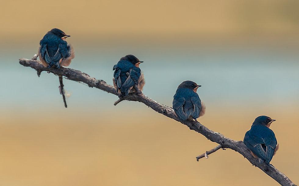 iStock-1266891577_bluebirds_sm.jpg