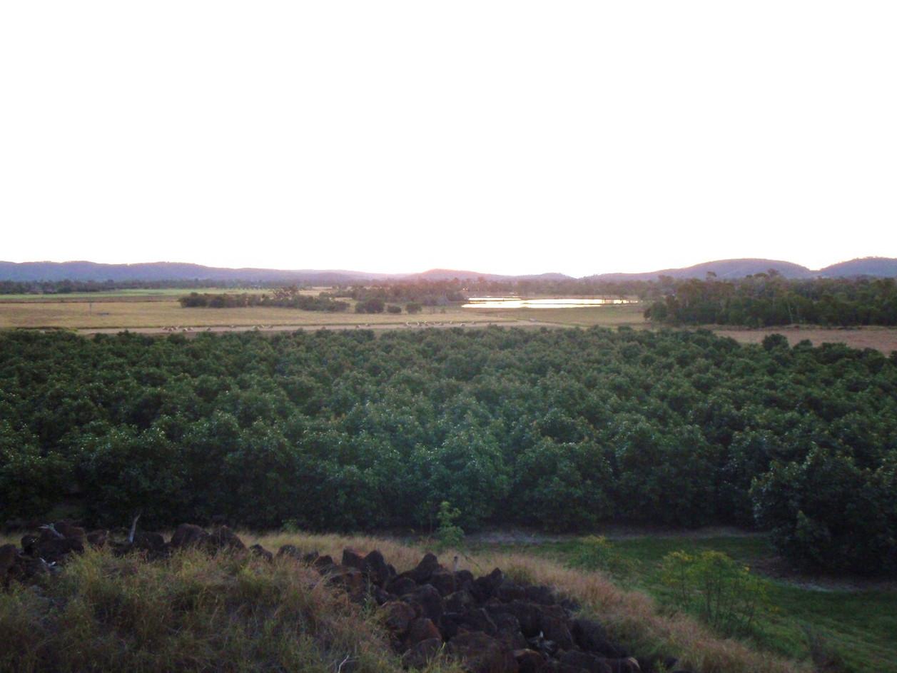 Avo Trees.JPG