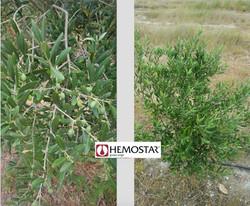 Olive grove in Alfaro (La Rioja)