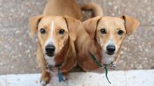 ALERGIA: Como saber se o meu cachorro tem alergia?