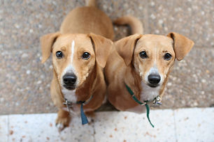 Two brown indie puppies with blue and green collars each sitting on brown and white tiles