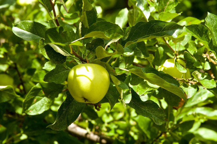 Apple of unknown name