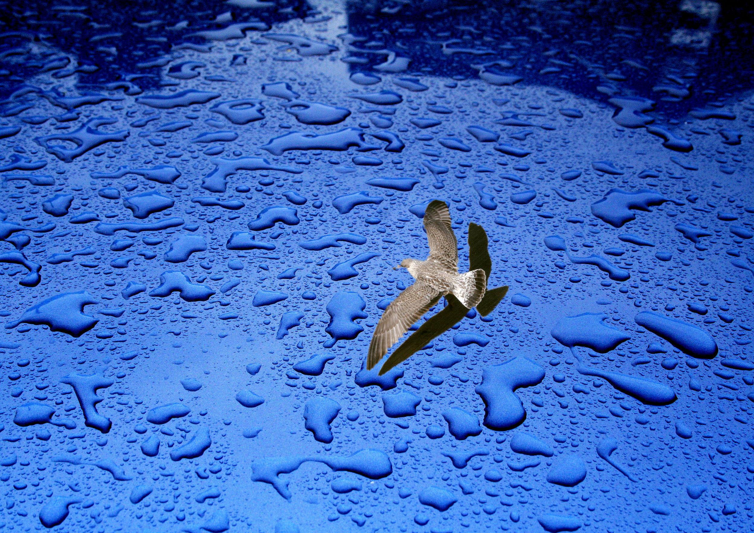 Blue seagull