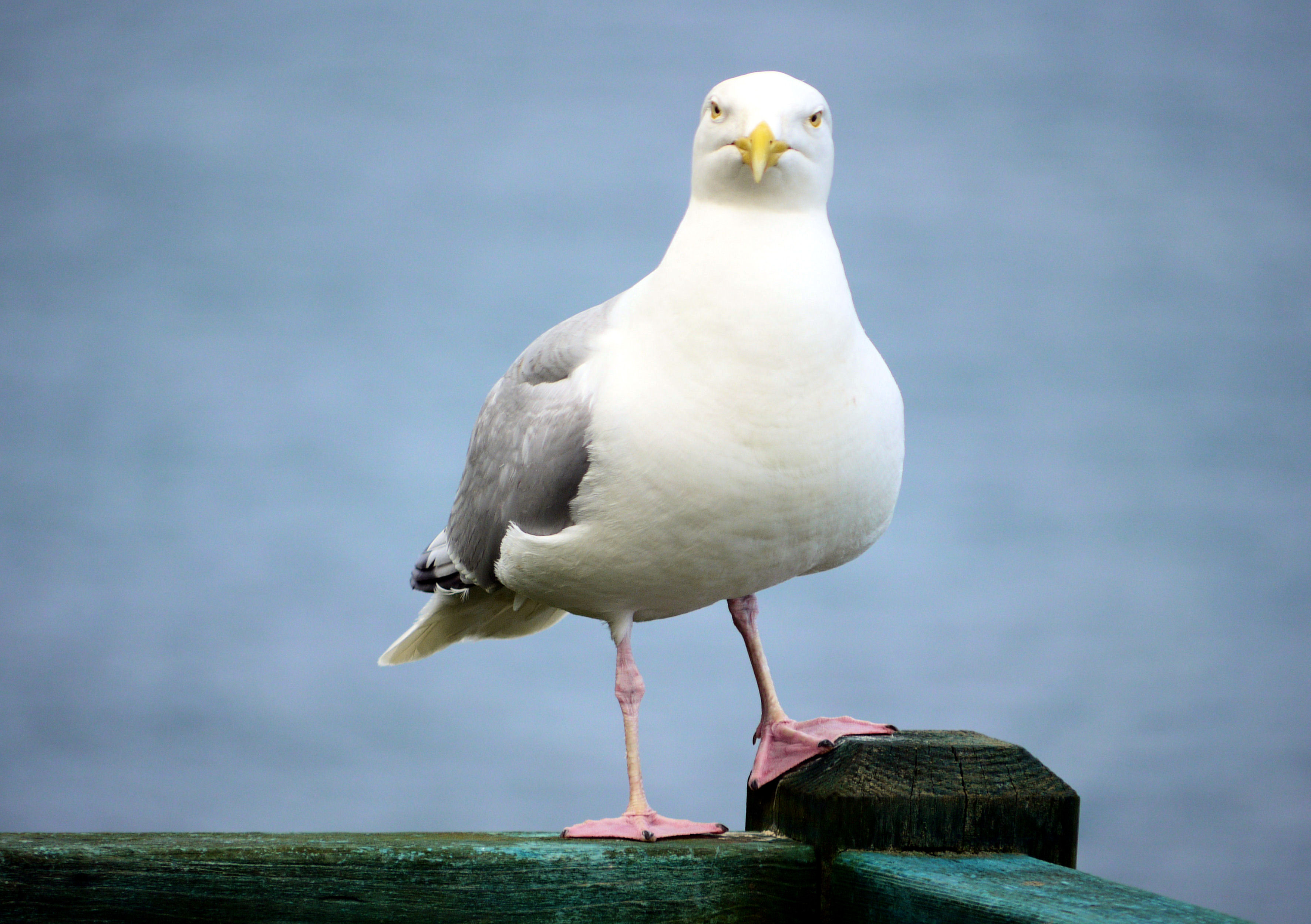 Insouciant seagull