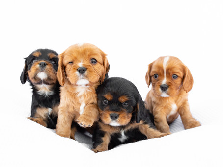 5 Week Old Cavalier King Charles Spaniel Puppies