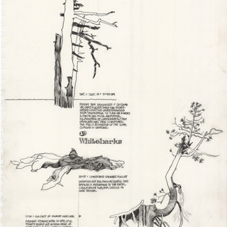 Whitebark pine studies: Crater Lake artist-in-residency