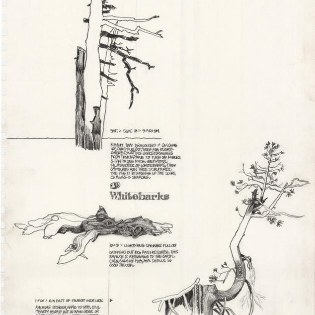 Whitebark pine studies: Crater Lake artist-in-residency