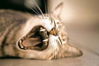 Yawning Cat_edited.jpg