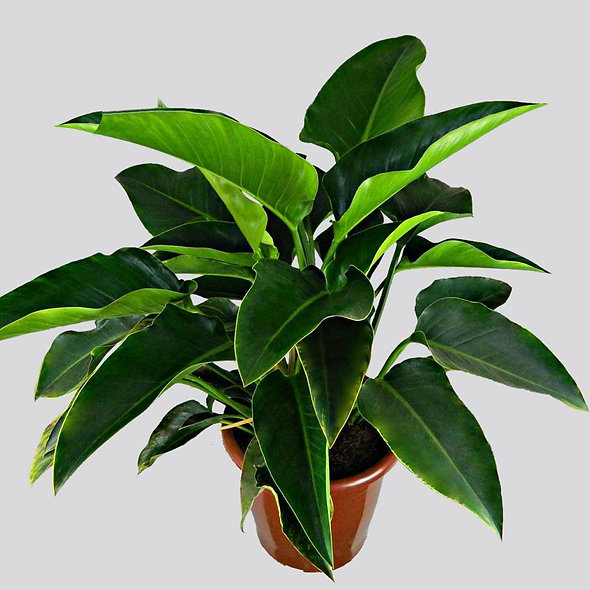 Philodendron Verde