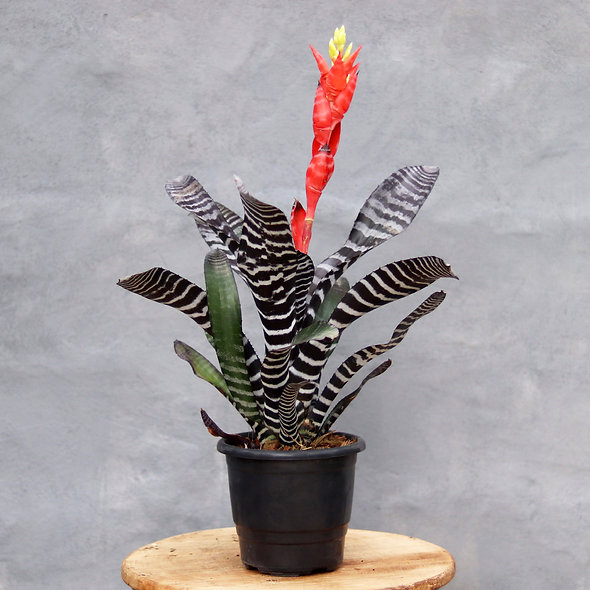 Bromélia (Aechmea chantinii 'Black')