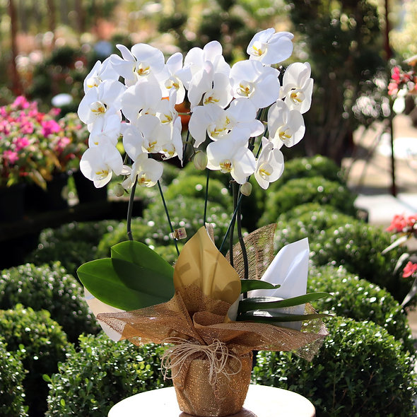 Orquídea Branca Cascata 3 Hastes