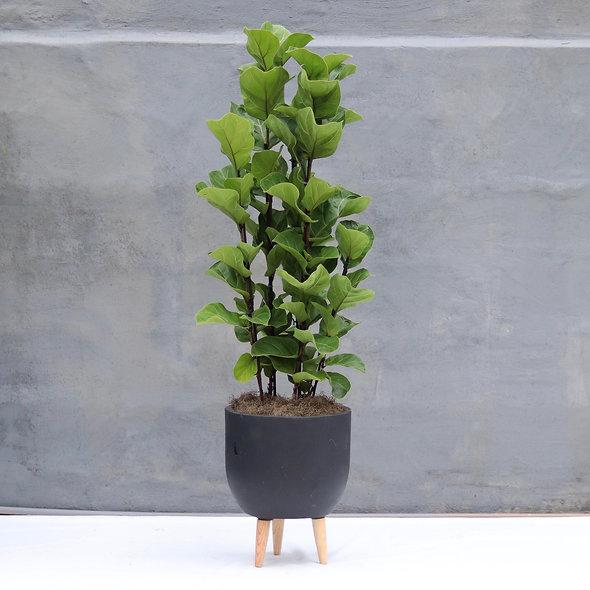 Ficus Lyrata & Vaso Tripé Fibra Cimento