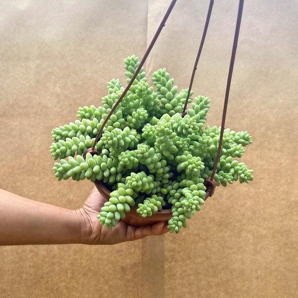 Dedo-de-moça (Sedum morganianum) C21