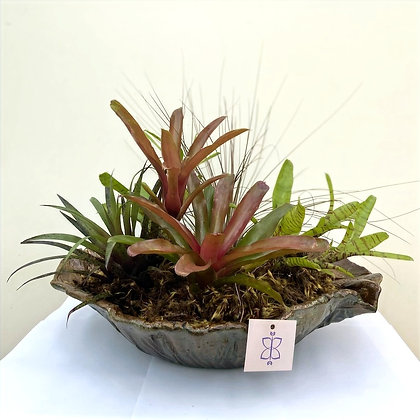Gamela Bromélias Fireball & Tillansias