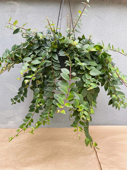Columeia vaso 1/2 vertical