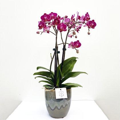 Orquídea Petit Pink