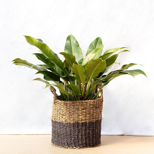 Philodendron & Cesto Natural