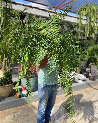 Samambaia Chorona no Vaso para Jardim Vertical