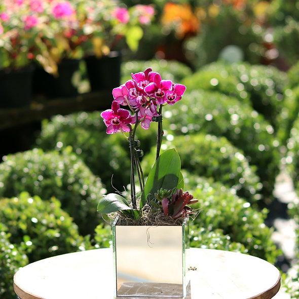 Arranjo Mini Orquídeas Vaso Espelhado
