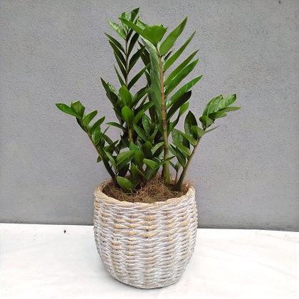 Zamioculcas & Vaso Cerâmica Cesto