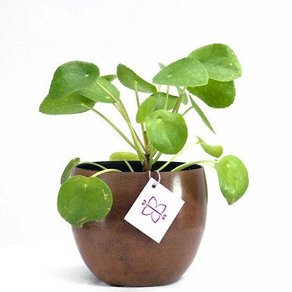 Pilea peperomioides mini