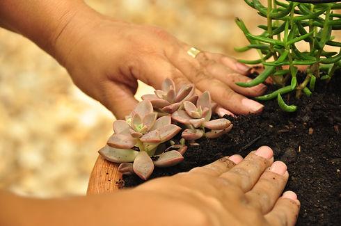 plantar-suculenta