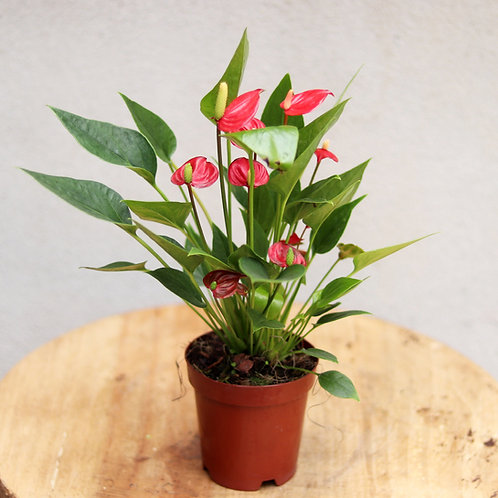 Anthurium Million