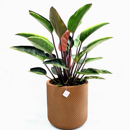 Philodendron Vinho