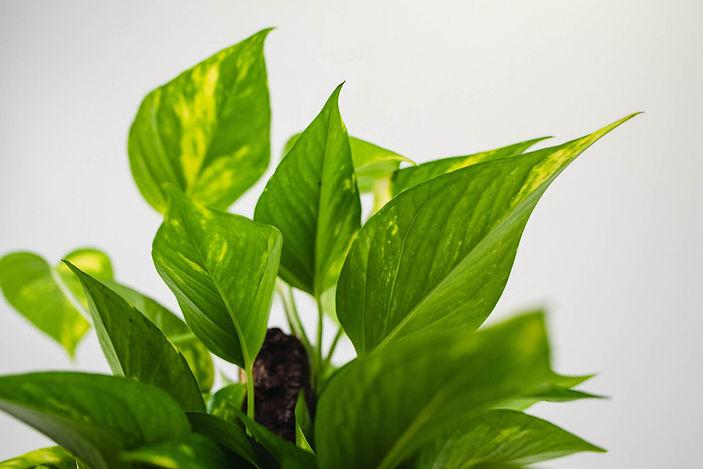 jiboia-veiling-plante-ar-puro.jpg