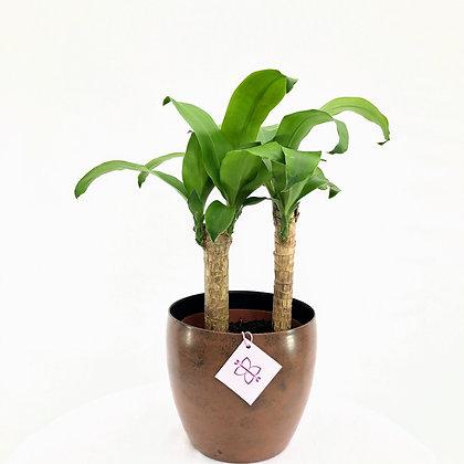 Dracena Fragrans (Dracaena fragans)