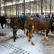 Hayrabolu Belediyesi canlı hayvan pazarı hizmete girdi