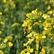 Tarlaları sarıya boyayan kanola Trakya'da yaygınlaşıyor