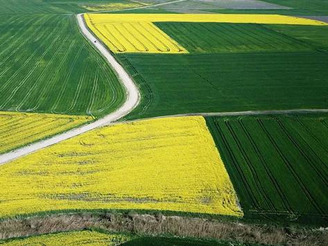 Kanola ve buğdaylardan renk cümbüşü