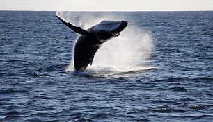 Warrnambool Whale Watching