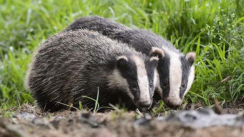 120816-Badgers-near-sett-photo-FLPA-Andrew-Mason-REX-Shutterstock.jpg