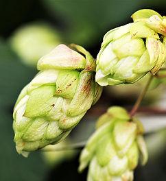 hops-flower-2730269_1920.jpg