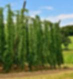hops-3542602_1920.jpg
