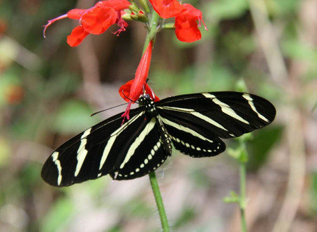 Species Spotlight: Zebra Longwing
