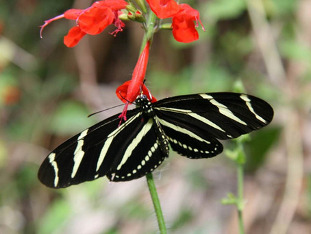 Species Spotlight: Zebra Longwing
