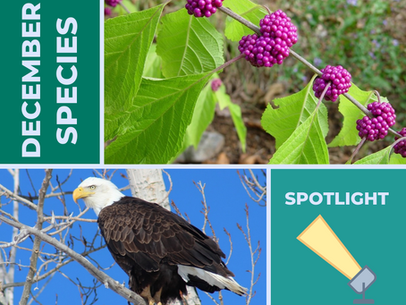 Species Spotlight: Beauty Berry and Bald Eagles