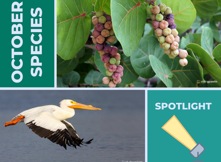 Seagrapes and White Pelicans: October Species Spotlight
