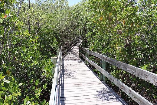 Walking the Mangroves in Florida Environ