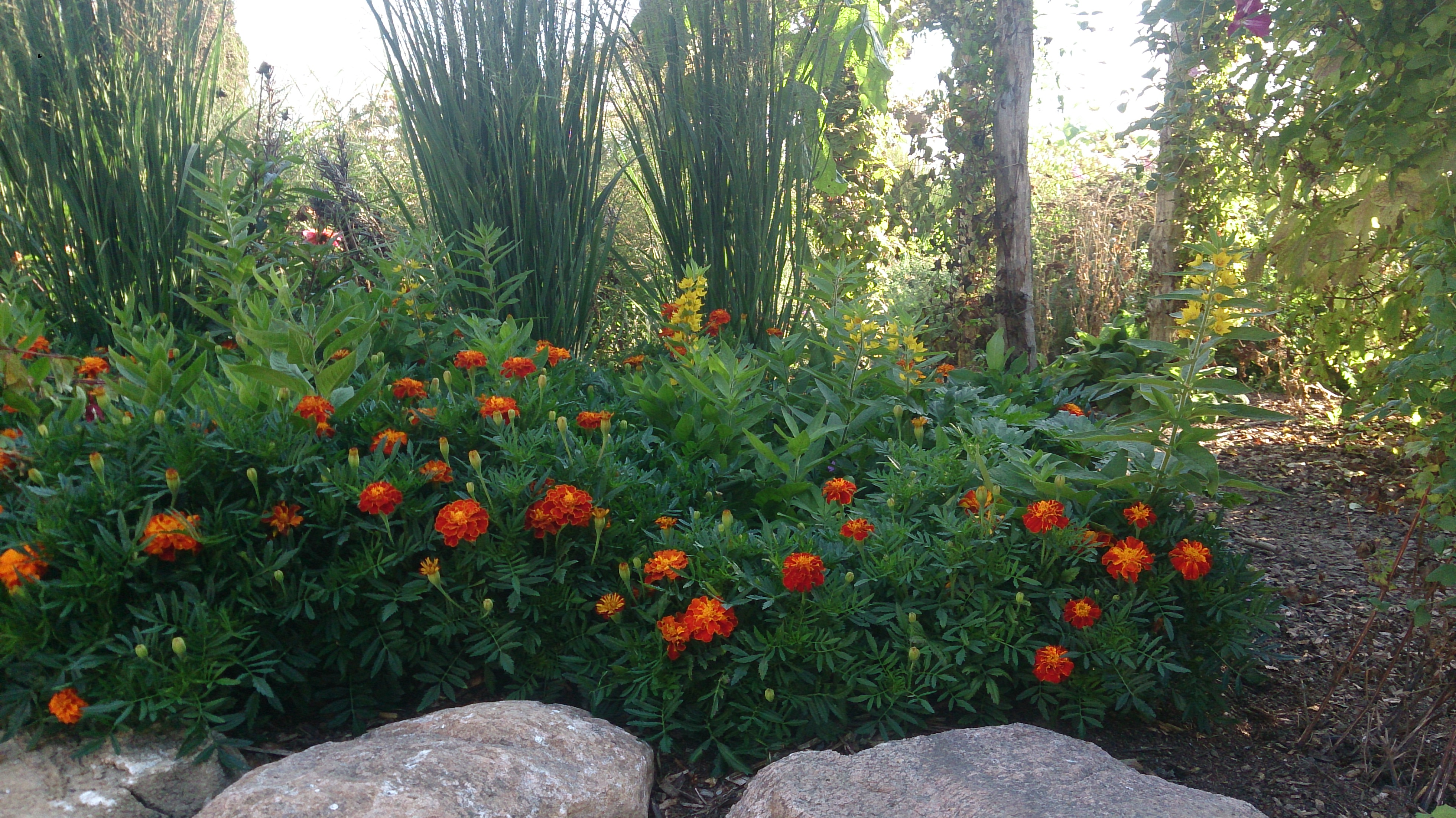 An edging of Marigolds
