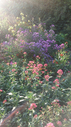 Centranthus & Asters