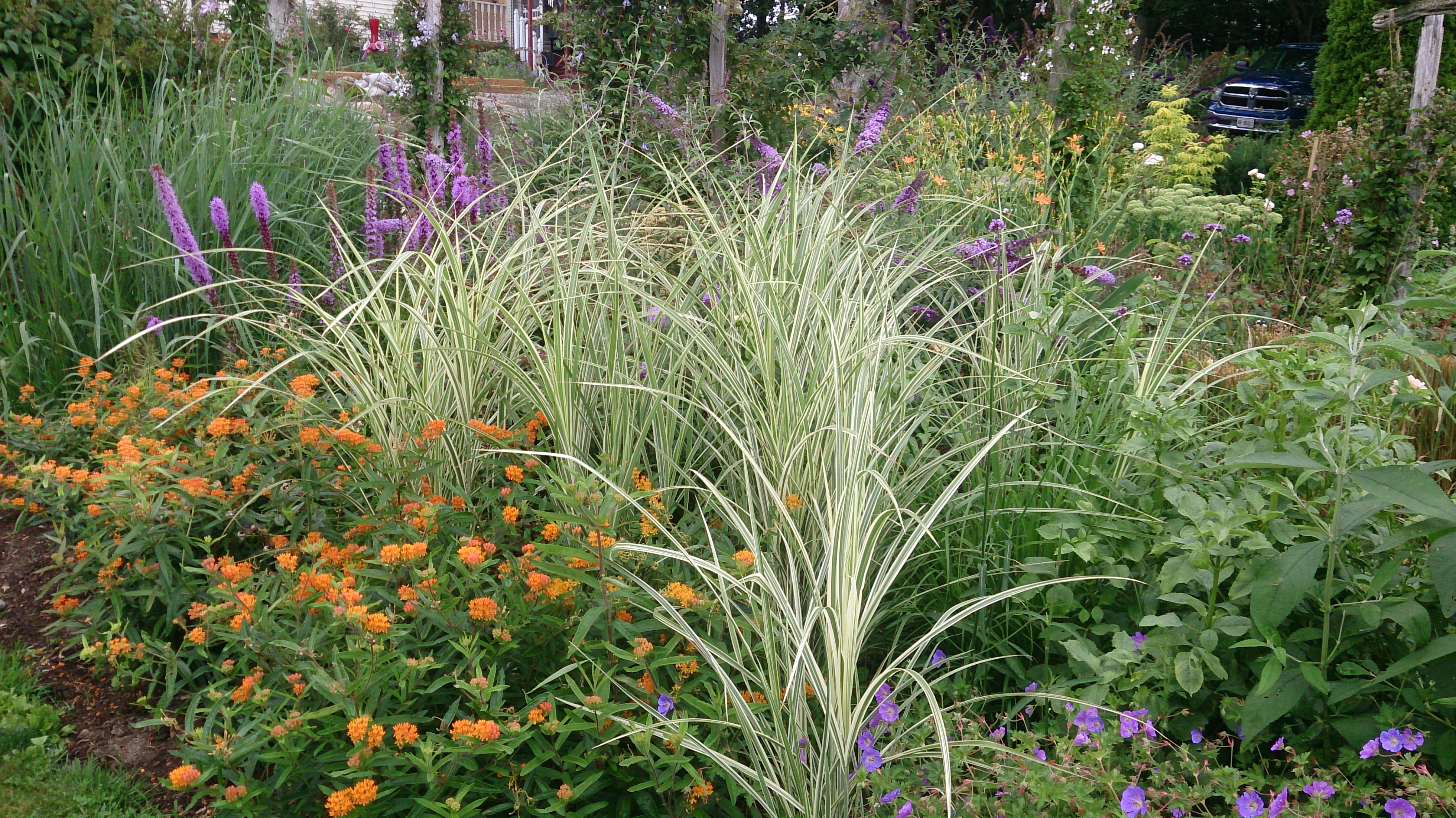 Cabaret grasses amidst perennials