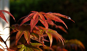 Japanese Maples in all colours at Meadow View Gardens, Roseneath