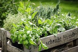 Die 10 besten Heilkräuter für den Garten oder Balkon