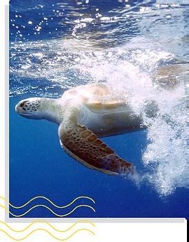 tartaruga.png