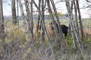 saskatchewan bull moose